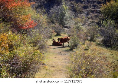 Two cows graze among the trees on the meadow on an autumn sunny day