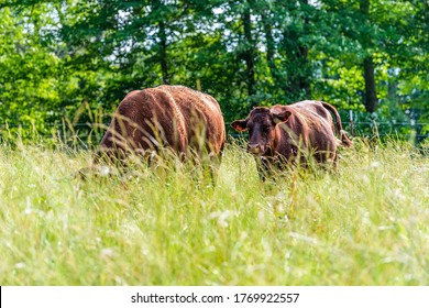 Two cows in green Tennessee farm field grazing on grass and many flies around and trees background shallow depth of field foreground