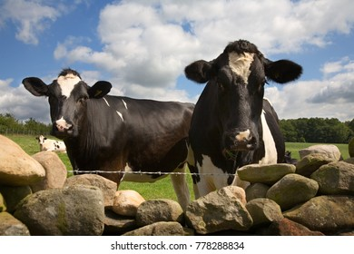 Two cows look over a drystone wall in the Eden Valley, Cumbria, England, UK.
