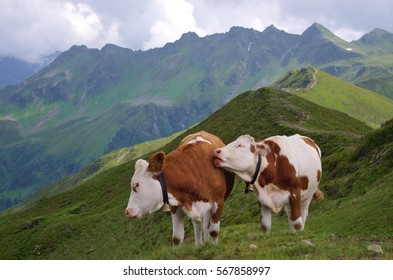 Two cows nudging each other