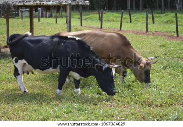 Two cows on the land