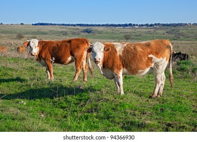 Two cows on the meadow