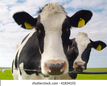 two cows on pasture in northern Germany