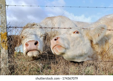 Two cows passing their heads through a barbed-wire fence.