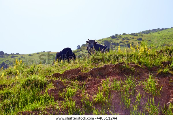 two cows stand on the mountain hill