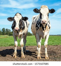 Two cows standing in a pasture, together, black and white, Holstein,  under a blue sky and a faraway straight horizon.