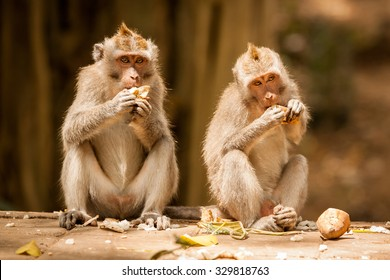 Two crab-eating macaques (Macaca fascicularis) eating bananas in Sacred Monkey Forest Sanctuary in Ubud, Bali, Indonesia.