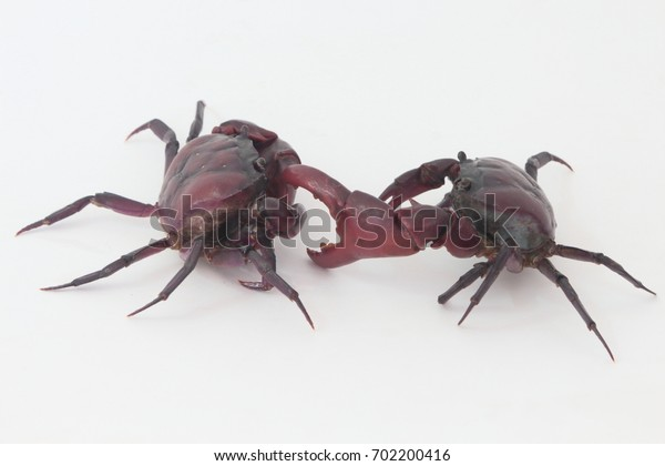 Two crabs are fighting on a white background.