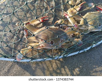 Two crabs were trapped in a crab trap, nowhere to go.