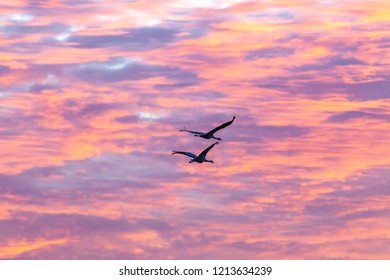 Two cranes, Grus grus, flying into the sunset