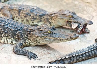 Two Crocodile