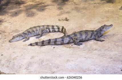 Two crocodiles on land