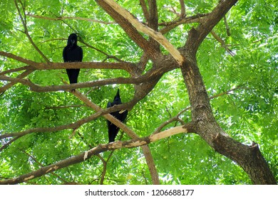 Two crow bird (Corvus macrorhynchos) standing on the branches of the Big rain tree (Samanea saman) looking for victims with sunlight. View from below.