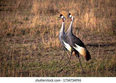 Two crowned cranes walking side by side on the plains of Kenya's Masai Mara National Park
