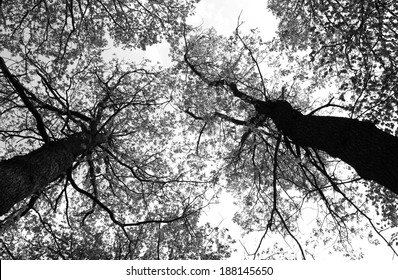 two crowns of trees viewed from ground