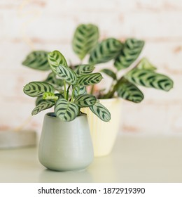 Two Ctenanthe Burle Marxii against red brick wallpaper