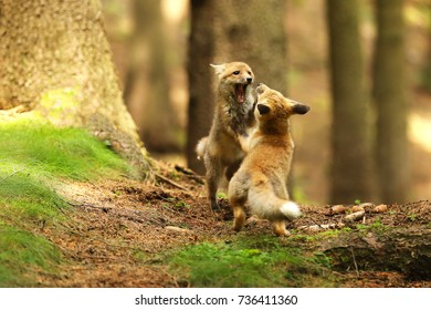 Two cubes of red fox trainig fight - Vulpes vulpes