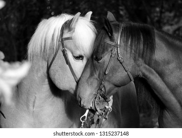 two cuddling horses black and white