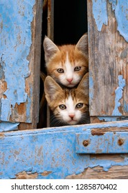Two curious baby cat kittens peering out of an old blue wooden window shutter with prying eyes, Lesvos, Greece