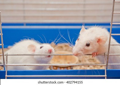 Two curious white rats looking out of a cage (selective focus on the rat on the left)