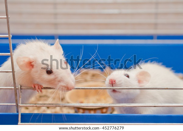 Two curious white rats looking out of a cage (selective focus on the rat on the right)