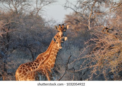 Two curious wild giraffes in bushes on sunset in African savannah. Etosha National Park in Namibia