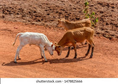 Two curious young calves butting on red soil road in Guinea, West Africa.