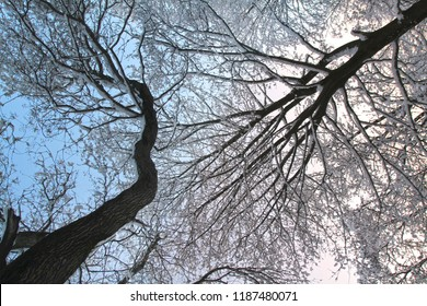 Two curved thick branches of trees covered with a thick layer of snow stretch upward. Winter trees view from below.