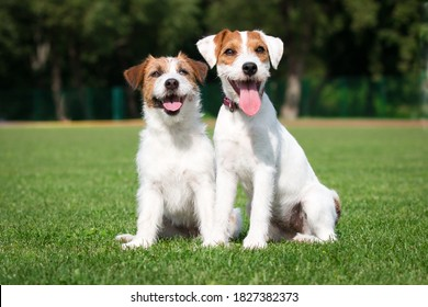 Two cute adorable rough haired jack russell terrier and parson russel terrier puppy sitting outdoors on summer time with green background. Hunting terriers posting outside, nice portrait of pet dog