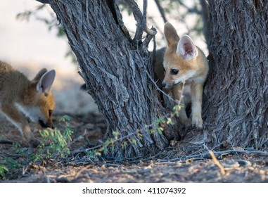 Two cute baby Cape foxes exploring around a camelthorn tree in the Kgalagadi desert.