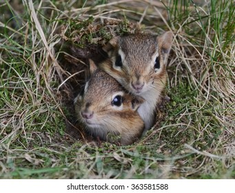 Two cute baby chipmunks trying to get out of the burrow together