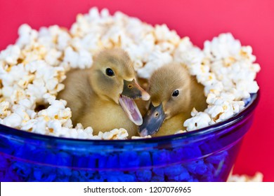 Two cute baby ducklings nestled in a blue bowl of popcorn with one quacking