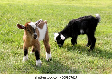 Two cute baby goats on a farm are outside grazing and eating grass.