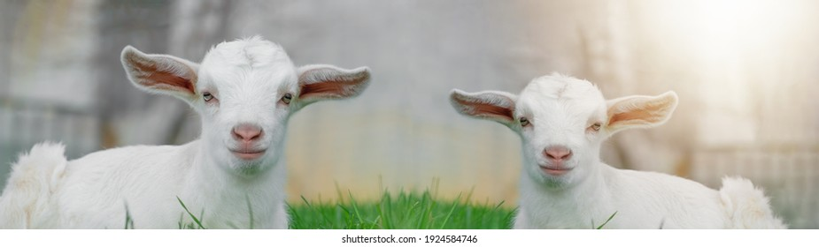 Two cute baby goats sheep are sitting on a green meadow background banner panorama spring easter