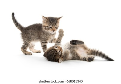Two cute baby tabby kittens fighting and playing isolated on white background