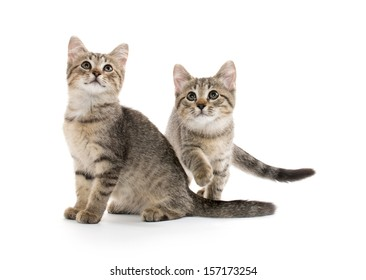 Two cute baby tabby short hair kittens on white background
