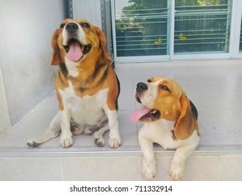 two cute beagle dog very happy