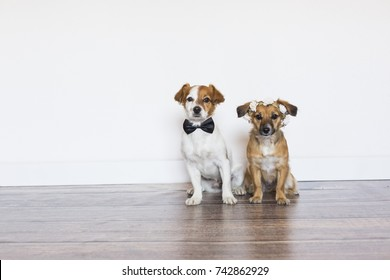 two cute beautiful small dogs wearing a bowtie and a roses wreath over white background. Wedding concept. Indoors