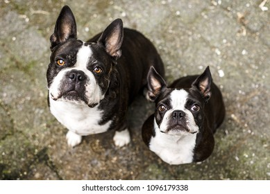 Two cute Boston Terriers sit outside, looking up at the camera and waiting for the ball to be thrown