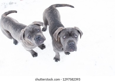 Two cute cane corso six month puppies in winter snow outdoor from top view