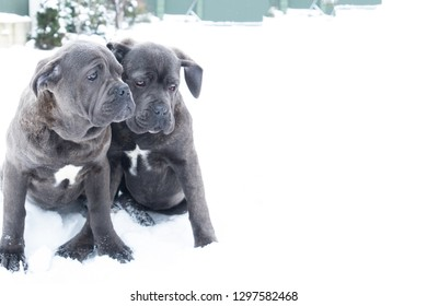 Two cute cane corso six month puppies in winter snow outdoor