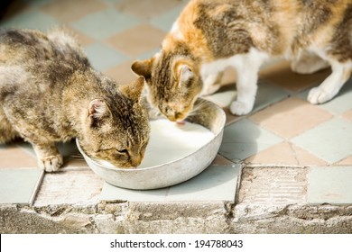 Two cute cats are drinking milk from bowl