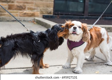 Two cute Cavalier King Charles Spaniels - breed cousins - meet for the first time while out for a walk on a summer day. One is black and tan, and the other is Blenheim color.