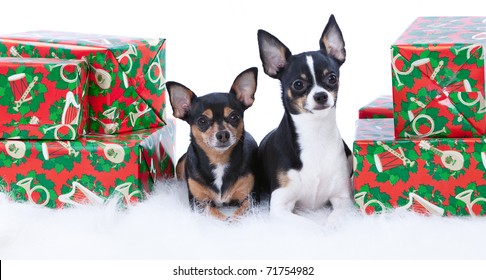 Two cute Chihuahuas sitting on a white fur rug with Christmas presents.