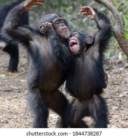 Two cute chimpanzees raise their hands to the top and grimace