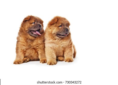 two cute chow-chow puppies isolated