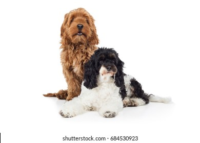 Two cute Cockapoo dog breed dogs