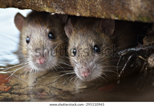 Two cute and curious Brown Rats looking of the cover.