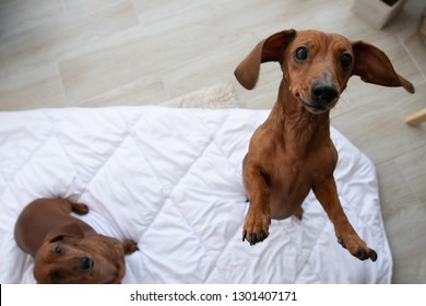 Two cute dachshund sits on white blanket and looking up at camera with copy space and one jumps