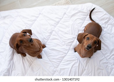 Two cute dachshund sits on white blanket and looking up at camera with copy space